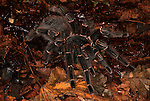 Tarantula Spider, Salmon Pink Bird Eating, Lasiodora parhaybana, Brazil, on forest floor, jungle.South America....