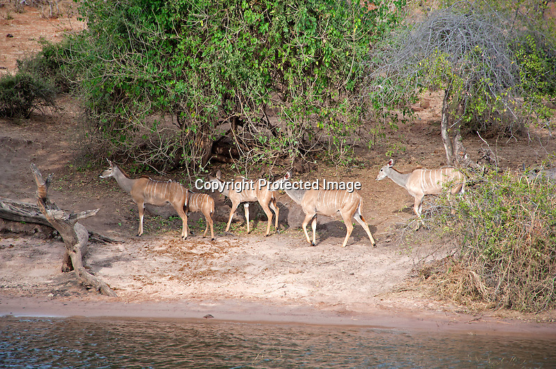 Kudu Family Browsing along the Chobe River in Chobe National Park in Botswana in Africa