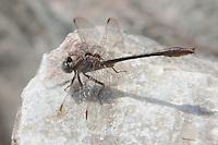 Cypress Clubtail (Gomphus minutus) Dragonfly - Male, Gordonia-Alatamaha State Park, Reidsville, Tattnall County, Georgia