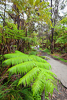 tourists, hiking rainforest trail under tree fern, Hapuu, Cibotium sp., and endemic Ohia Lehua, Metrosideros polymorpha, Kilauea, Hawaii Volcanoes National Park, Big Island, Hawaii, USA