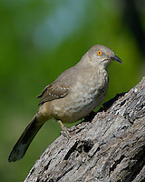 Curve-billed Thrasher, Dos Venadas Ranch, South Texas