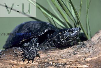 Stinkpot Turtle ,Sternotherus odoratus,, Eastern North America.