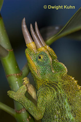 CH35-645z  Male Jackson's Chameleon or Three-horned Chameleon, close-up of face, eyes and three horns, Chamaeleo jacksonii