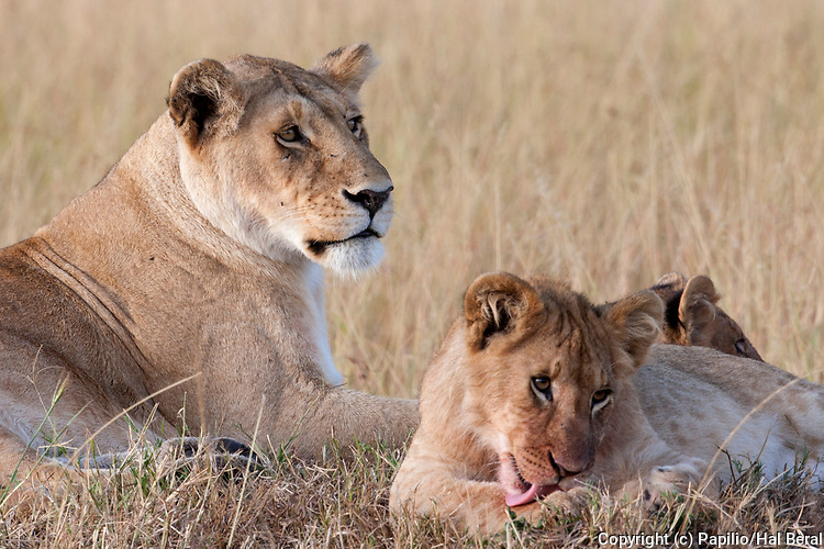 Young African Lion clicks it's paws while it's mother looks on.(Panthera leo).Masai Mara National Park, Kenya