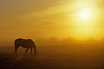 Sunrise with silhouetted horse in field grazing Snohomish County Washington State USA.