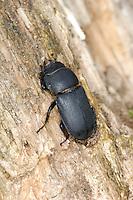 Lesser Stag Beetle - Dorcus parallelipipedus