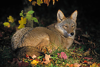 COYOTE..Minnesota. Autumn..(Canis latrans).