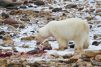 01874-12818 Polar bear (Ursus maritimus) eating Ringed Seal (Phoca hispida)  in winter, Churchill Wildlife Management Area, Churchill, MB Canada