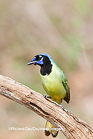 01291-00614 Green Jay (Cyanocorax yncas) in tree Starr Co., TX