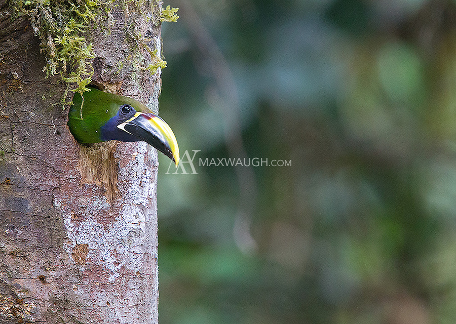 One of my favorite birds in the highlands, the Emerald toucanet.