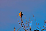 Kestrel on a Branch