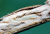 Periodical Cicada Eggs in oak twig; Magicada sp.; NJ; Atlantic County Dorothy Preserve