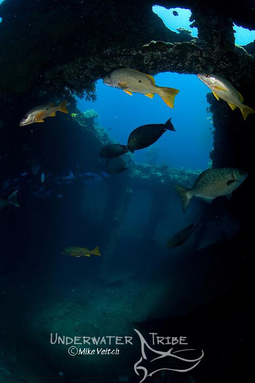 A variety of fish at the USS Liberty wreck, lined sweetlips, Plectorhinchus lineatus, onespot snapper, Lutjanus monostigmus, and lowfin rudderfish, Kyphosus vaigiensis, Tulamben, Bali, Indonesia, Pacific Ocean
