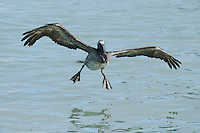 Brown Pelican (Pelecanus occidentalis), immature in flight, Galapagos Islands, Ecuador, South America