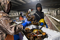 Matt Launsby (left), 20, and Comfort Mainza, 22, weigh crates of sorted live lobsters at Island Seafood's receiving facility before sending them to the packing facility in Eliot, Maine, USA, on Wed., Jan. 31, 2018. Lobsters are sorted into similar sizes and then moved to a packing facility to be shipped to customers around the world.