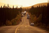 Congested vehicles view moose along the Denali Park road, Denali National Park, Alaska