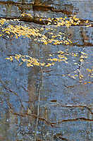 A small Maple tree with its remaining leaves contrast their warm tones against the shaded blue sandstone walls in Illinois Canyon in Starved Rock State Park in LaSalle County, Illinois