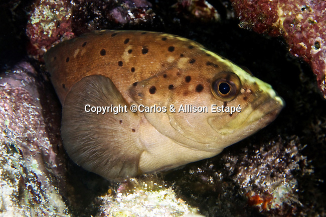 Rypticus subbifrenatus, Spotted soapfish, Florida Keys