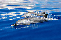 pantropical spotted dolphin, Stenella attenuata, mother and calf surfacing, note the lack of spots in young animals, in the AuAu Channel between the islands of Maui and Lanai, Hawaii, USA, Pacific Ocean