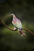 A New Zealand Wood Pigeon or Kereru perches on the bent stalk of a flax flowerhead.