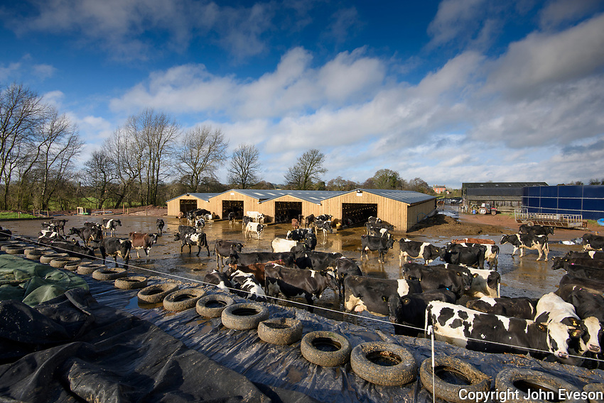 A herd of cows feeding at a silage clamp face, Staffordshire with a wooden cubicle house.