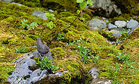 The dipper jumped up on the bank and began to probe amongst the mosses.  It gradually moved upstream along the bank, eventually jumping back down along creek.