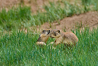 673030135c utah prairie dogs cynomys parvidens a threatened species  play fight by their burrow in bryce canyon national park utah united states