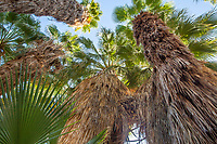 Desert fan palm trees (Washingtonia filifera) in The Living Desert Zoo and Gardens, Palm Springs, California.