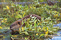 Beaver (Castor canadensis) in late Fall preparing for Winter, Western U.S..  Here beaver is transporting a branch it has cut back to near lodge where it will place it underwater for food once beaver pond has frozen over.
