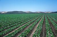 A lettuce Field near Salinas Valley, CA