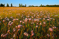 Prairie smoke or three-flowered aven (Geum triflorum)<br /> Birds Hill Provincial Park<br /> Manitoba<br /> Canada