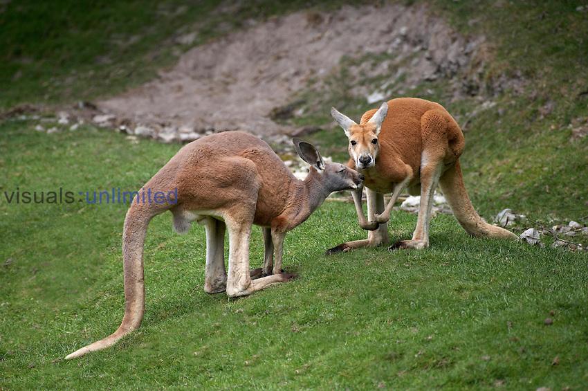 Red Kangaroos (Macropus rufus), Australia.