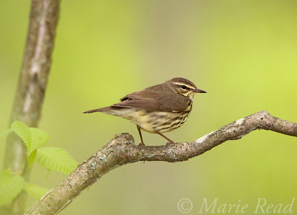 Northern Waterthrush (Seiurus noveborancensis), Ithaca, New York, USA