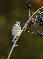 Blue Tit (Parus caeruleus), adult perched on berry laden branch of common privet (Ligustrum vulgare), Oberaegeri, Switzerland, Europe