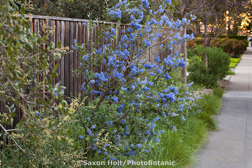 Blue flowering Wild Lilac (Ceanothus 'Ray Hartman') along sidewalk in Southern California garden with drought tolerant native needle grass (Nassella)