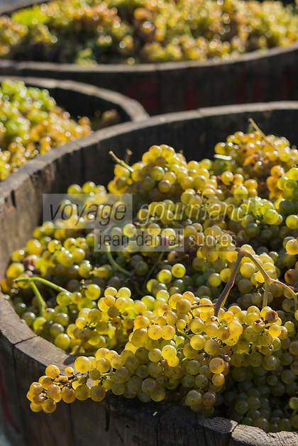 France, Aquitaine, Pyrénées-Atlantiques, Béarn, Coteau du Jurançon, Lacommande:  Vignoble du Jurançon, la vendange   //  France, Pyrenees Atlantiques, Bearn, Slopes of Jurançon, Lacommande: Jurançon vineyard, the harvest
