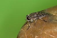 Herbst-Rinderbremse, Herbstrinderbremse, Bremse, Herbstbreme, Große Sumpfbremse, Weibchen, Tabanus autumnalis, Large Marsh Horsefly, female