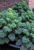 Borecale Showbor  Dwarf Green Curly Kale Collards similar to winterbor, miniature vegetable