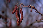 A912WB Common alder catkins alnus glutinosa close up
