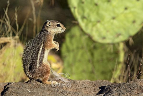 Harris's antelope squirrel (Ammospermophilus harrisii), Sonoran Desert, Arizona.
