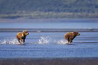 Corona and BooBoo run away from an approaching bear. Kodiak grizzly bear (Ursus arctos middendorffi), Hallo Bay