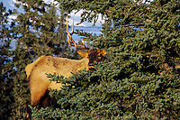Rocky Mountain Bull Elk (Cervus elaphus).  Northern Rockies, fall.