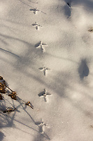 Ruffed grouse tracks