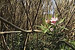 Israel, Lower Galilee, Oleander flower in Nahal Yavne'el