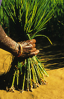INDIA Karnataka, women replant rice seedlings at farm near Mangalore / INDIEN Karnataka, Reisanbau, Frauen pflanzen Reissetzlinge um, Hand einer Frau mit jungen Reispflanzen