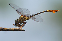 Five-striped Leaftail (Phyllogomphoides albrighti) eating its honey bee prey.