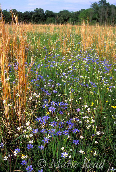 Prairie wildflowers and grasses, including Blue-eyed Grass (Sisyrinchium sp.), April, St. Charles, Arkansas, USA<br /> Slide # PRAARK-01
