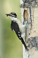 Hairy Woodpecker - Picoides villosus - male