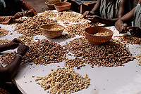 BURKINA FASO, Banfora , Sotria B Sarl factory for cashew kernel processing, women peel, clean and sort cashew nuts / Fabrik zur Verarbeitung von Kaschukerne , Frauen schaelen und sortieren Kaschu Nuesse