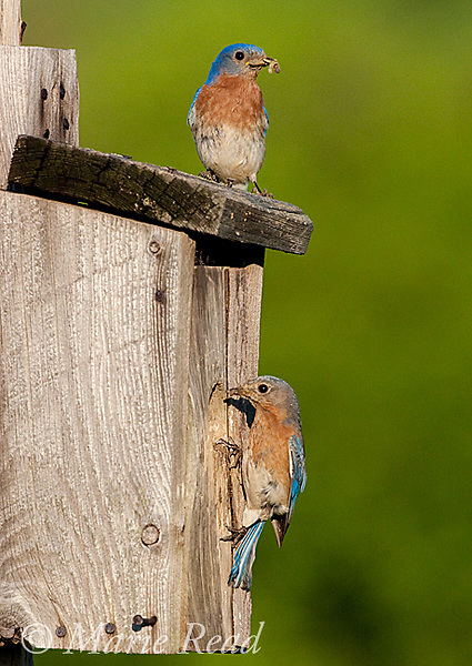 Eastern Bluebird (Sialia sialis), male and female bringing food to nestbox, New York, USA